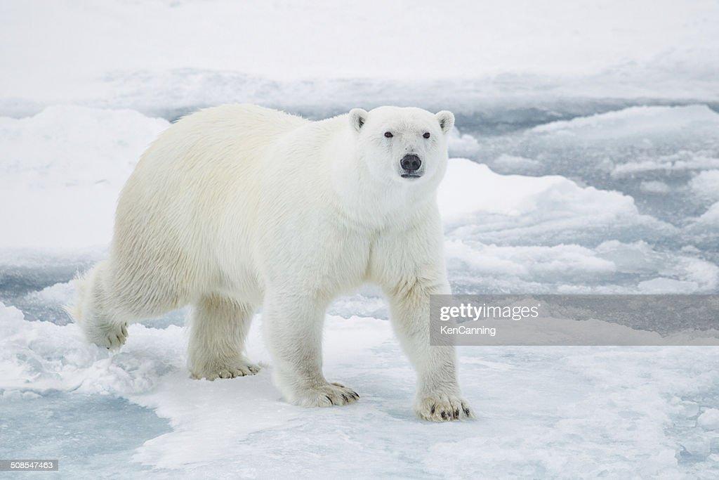 Polar Bear on Pack Ice : Stock Photo