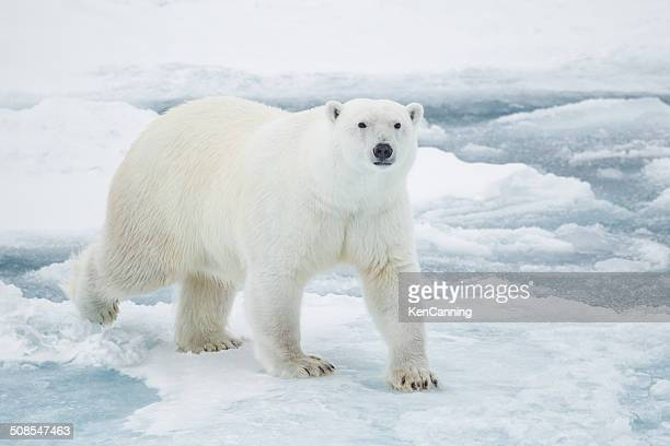 polar bear on pack ice - polar bear stock pictures, royalty-free photos & images