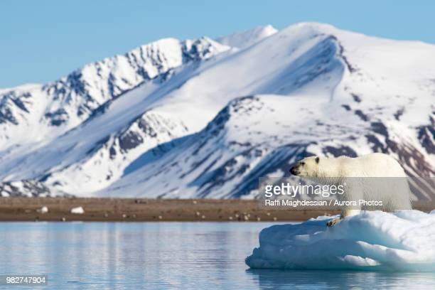 polar bear (ursus maritimus) on pack ice, spitsbergen, svalbard and jan mayen, norway - spitsbergen stock pictures, royalty-free photos & images