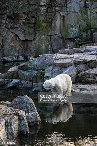 Polar Bear On Rock At Zoo