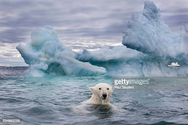 polar bear on sea ice near repulse bay, nunavut, canada - pack ice stock pictures, royalty-free photos & images