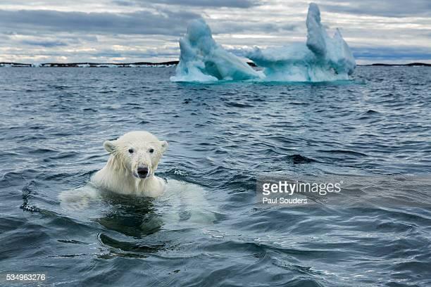 Polar Bear on Sea Ice near Repulse Bay, Nunavut, Canada