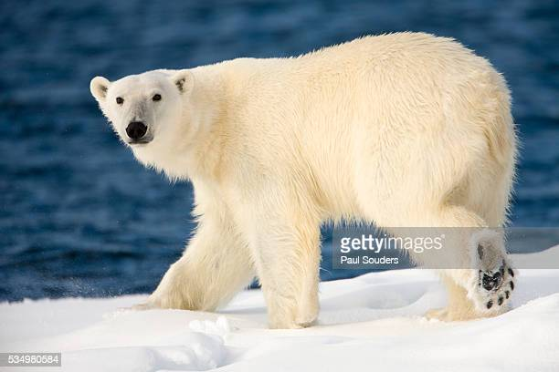 polar bear on snow covered iceberg at spitsbergen - polar bear stock pictures, royalty-free photos & images