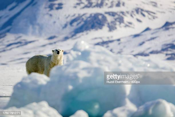 polar bear on snow-covered land - svalbard and jan mayen stock pictures, royalty-free photos & images