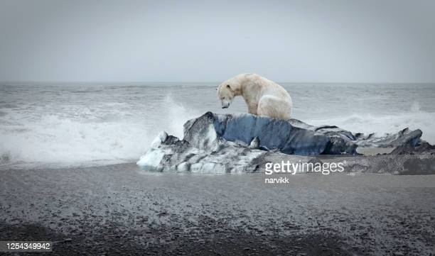 polar bear on the floe - permafrost stock pictures, royalty-free photos & images