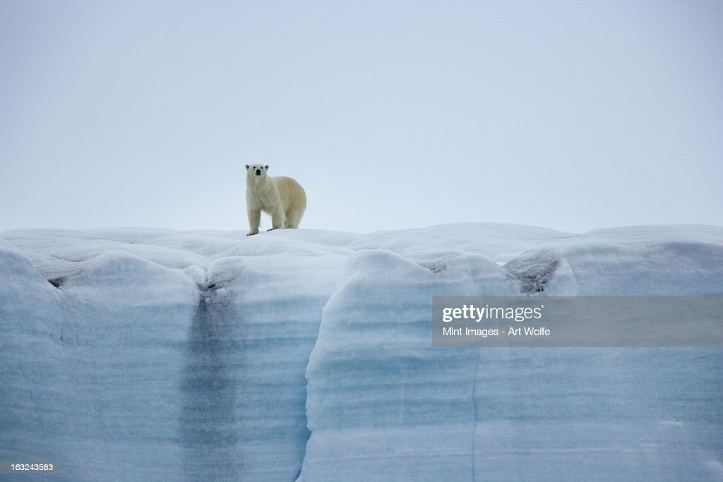A polar bear on the ice in Svalbard, Norway : Stock Photo