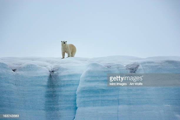 a polar bear on the ice in svalbard, norway - polar bear stock pictures, royalty-free photos & images