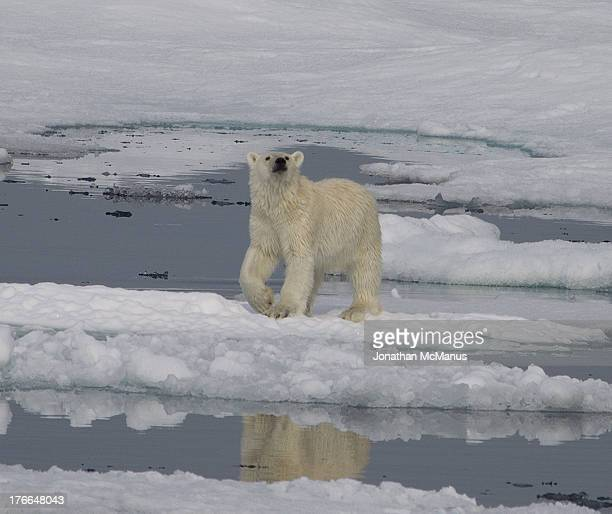 Polar bear on the ice off the coast of North East Greenland. The bear has his head raised to sniff the tourists and one paw cocked. There is a...