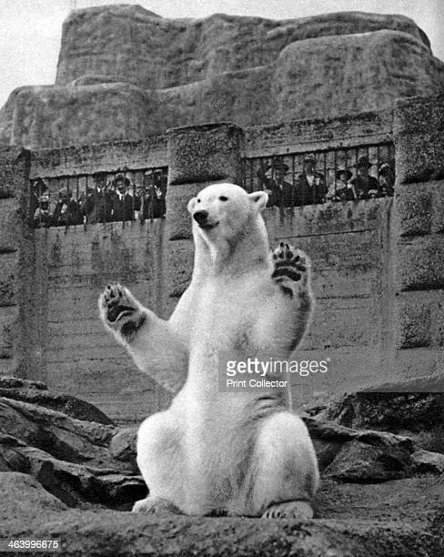 Polar bear on the Mappin Terrace at London Zoo 19261927 Illustration from Wonderful London volume I edited by Arthur St John Adcock published by...