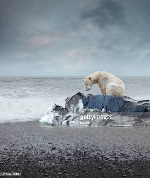 polar bear on the melting iceberg - environmental damage stock pictures, royalty-free photos & images