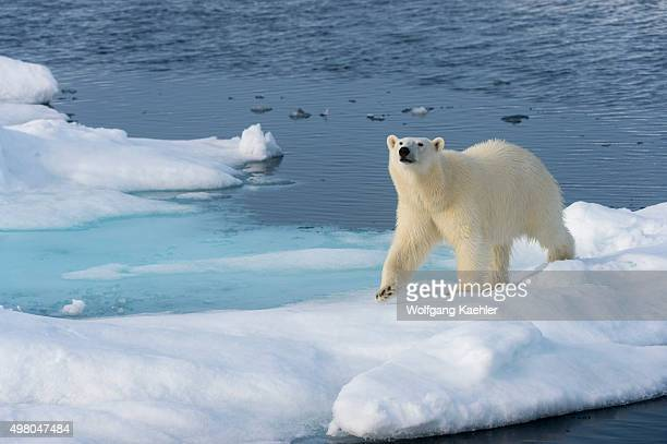 Polar bear on the pack ice north of Svalbard, Norway.