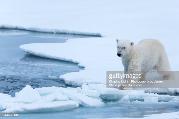 polar bear on thin ice - spitsbergen stock pictures, royalty-free photos & images