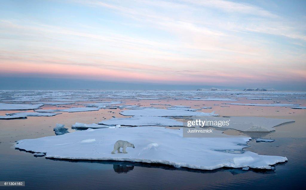 Polar Bear Pack Ice : Stock-Foto