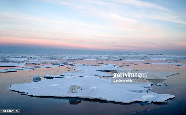 polar bear pack ice - polar bear stock pictures, royalty-free photos & images