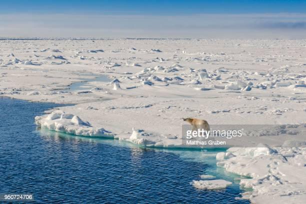 Polar bear (Ursus maritimus), pack ice, Spitsbergen, Norway