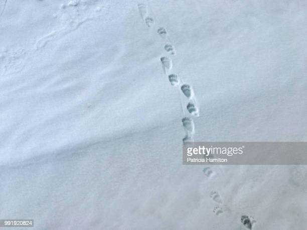 polar bear paw prints in snow - bear tracks stock pictures, royalty-free photos & images