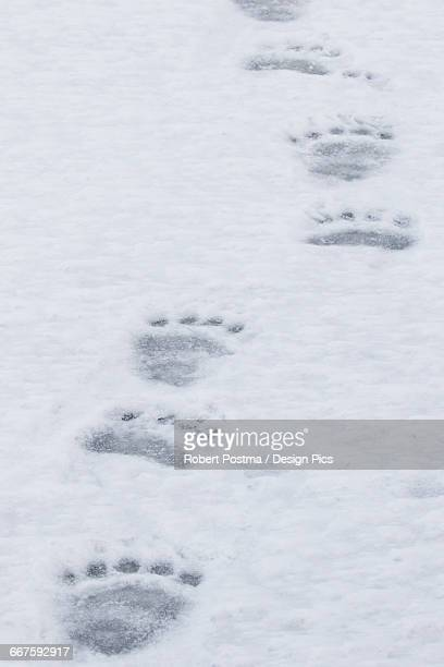 Polar bear paw prints walking across the ice