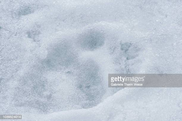 polar bear - bear tracks stock pictures, royalty-free photos & images