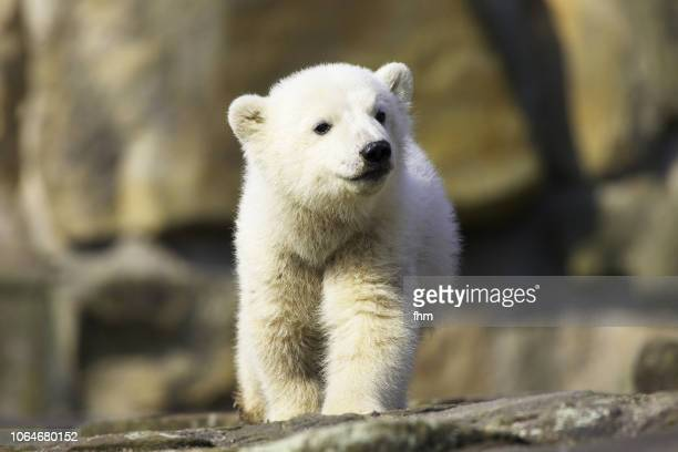 polar bear - young animal stock pictures, royalty-free photos & images