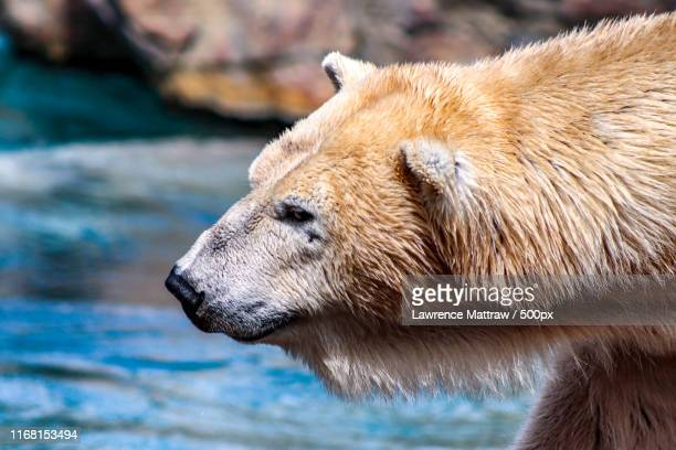 polar bear - endangered species stock pictures, royalty-free photos & images