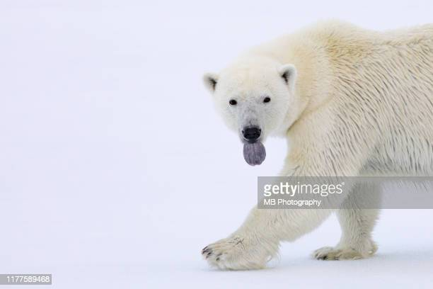 polar bear - drift ice stock pictures, royalty-free photos & images