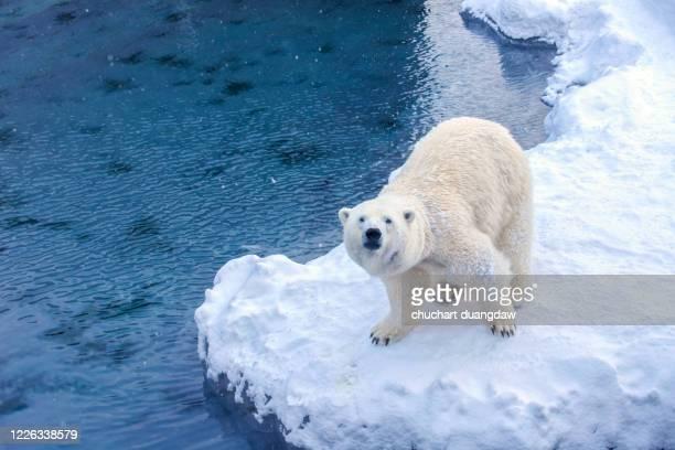 polar bear (ursus maritimus) - 気候変動 ストックフォトと画像