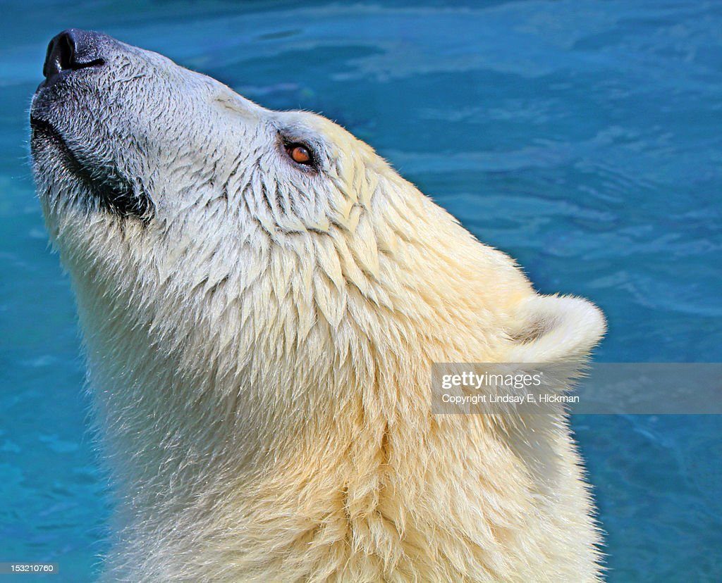 Polar bear : Stock Photo