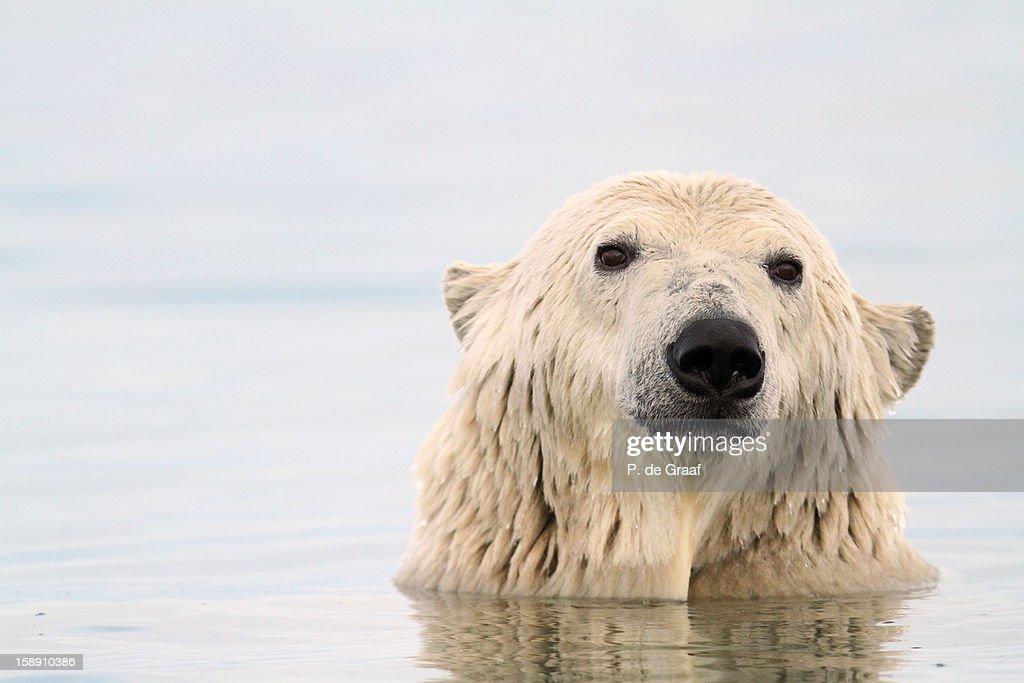 Polar Bear : Stock-Foto