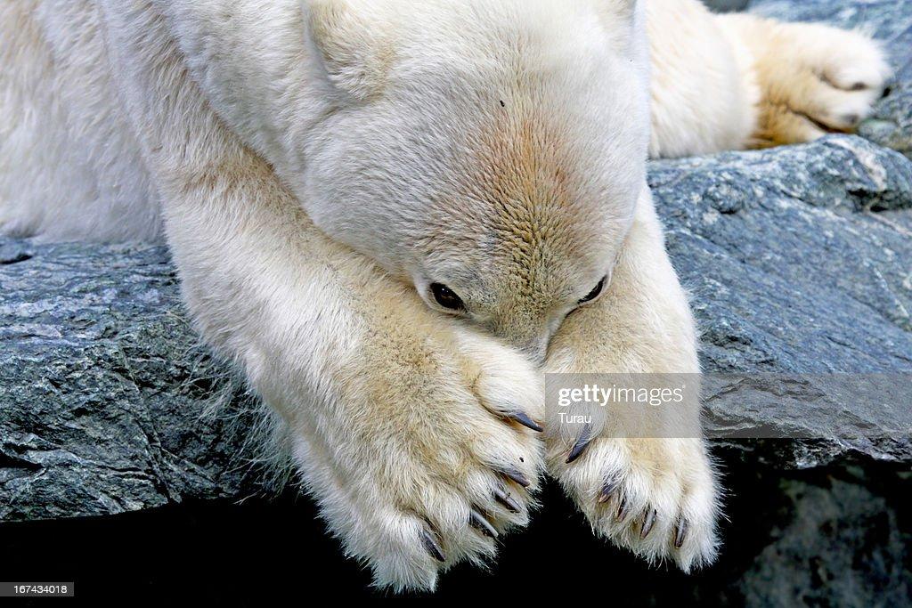 Polar bear : Stock Photo