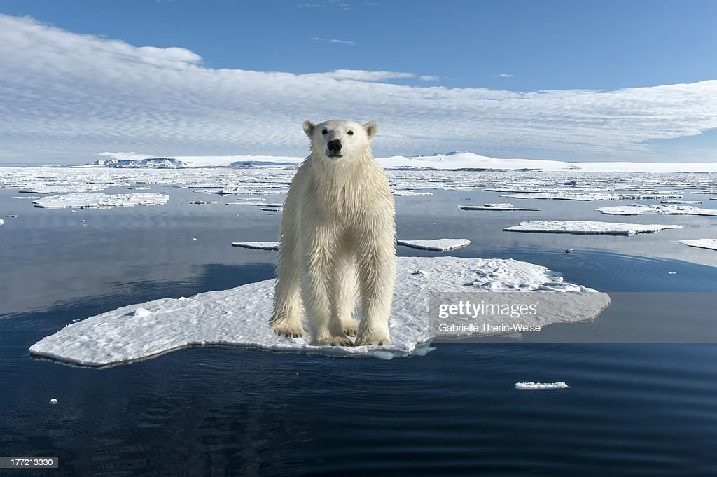 Polar Bear : Stock-Foto