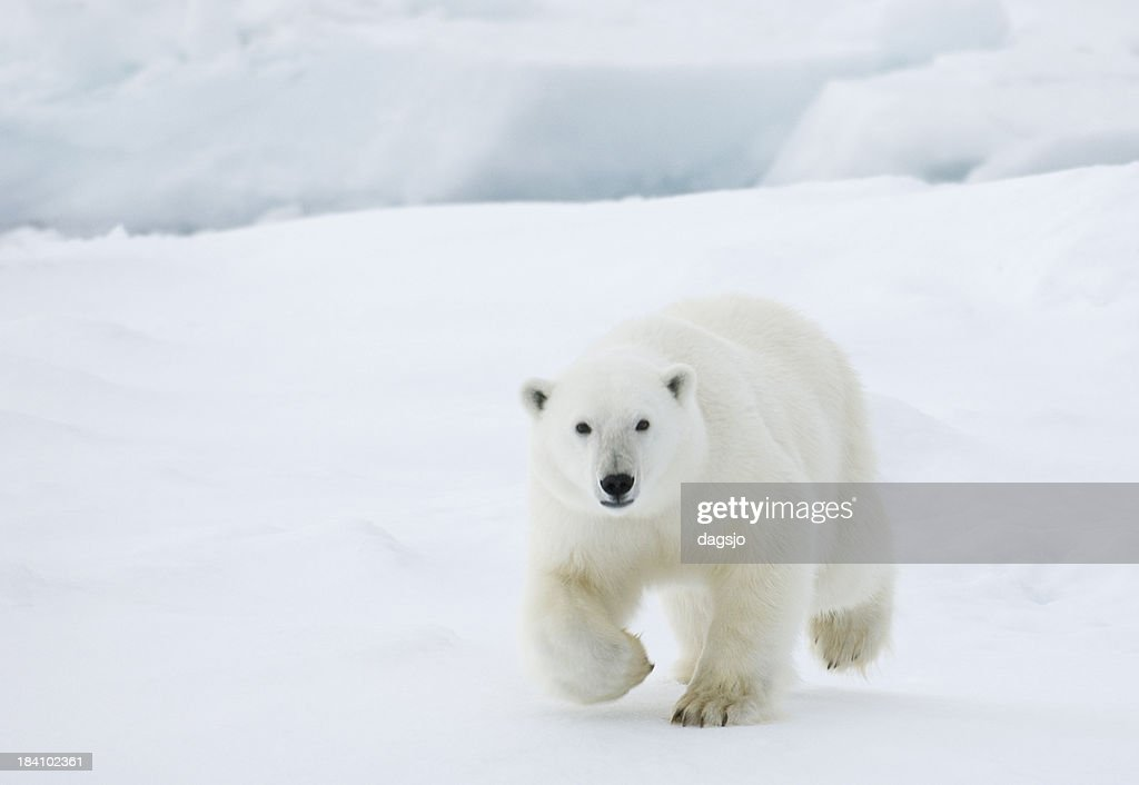 'Polar bear in Svalbard, Arctic.'