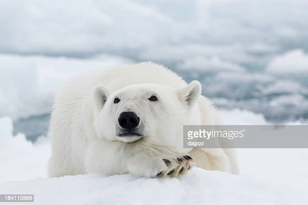 polar bear - polar bear stock pictures, royalty-free photos & images