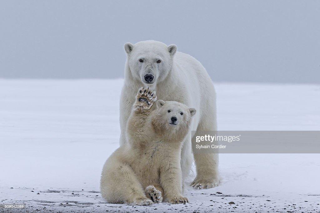 United States , Alaska , Arctic National Wildlife Refuge , Kaktovik , Polar Bear(Ursus maritimus) , mother with one cub from the year along a barrier island outside Kaktovik, Alaska. Every fall, polar bears (Ursus maritimus) gather near Kaktovik on the northern edge of ANWR, Arctic Alaska, Fall