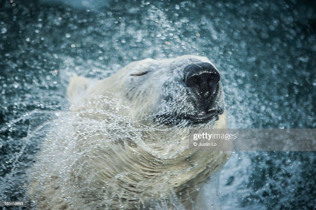 Polar Bear, Ursus maritimus.