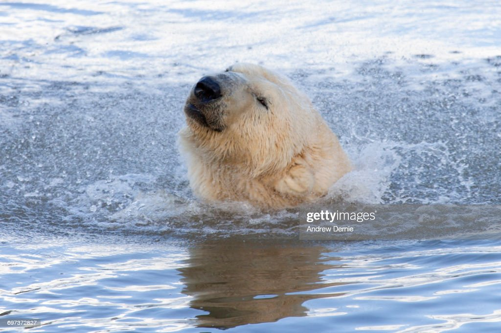 Polar Bear : Foto de stock