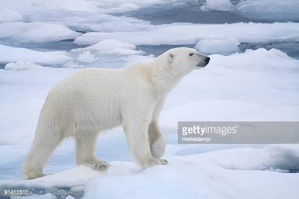 polar bear - poolklimaat stockfoto's en -beelden