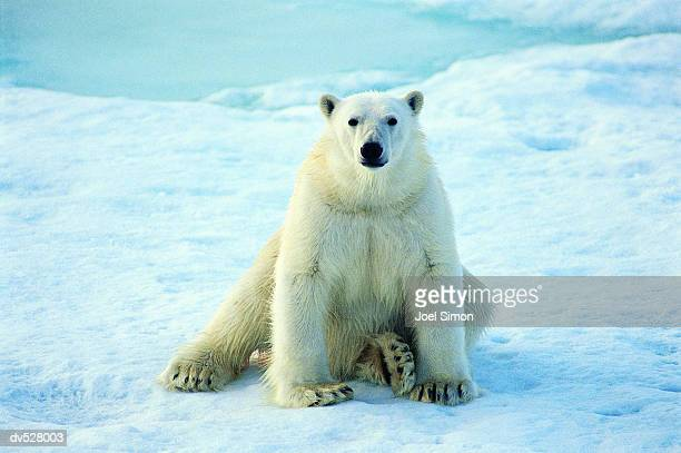 polar bear (thalarctos maritimus) - polar bear stock pictures, royalty-free photos & images