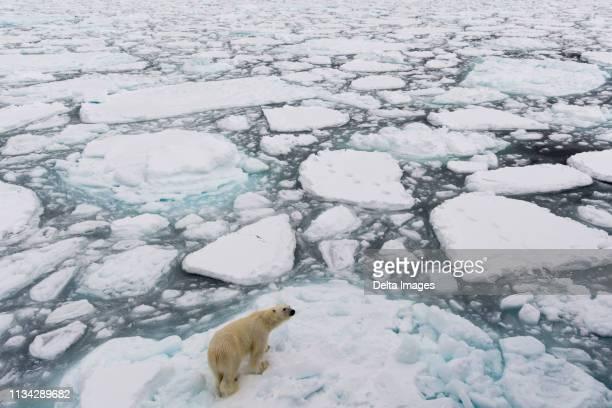 polar bear (ursus maritimus), polar ice cap, 81north of spitsbergen, norway - 北極 ストックフォトと画像