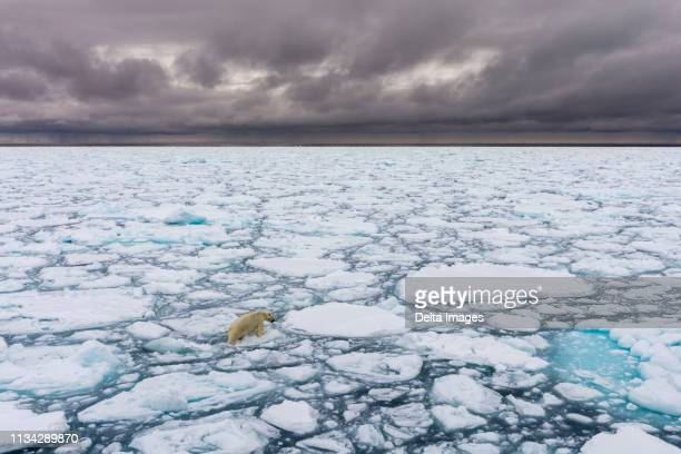 polar bear (ursus maritimus), polar ice cap, 81north of spitsbergen, norway - 北極点 ストックフォトと画像