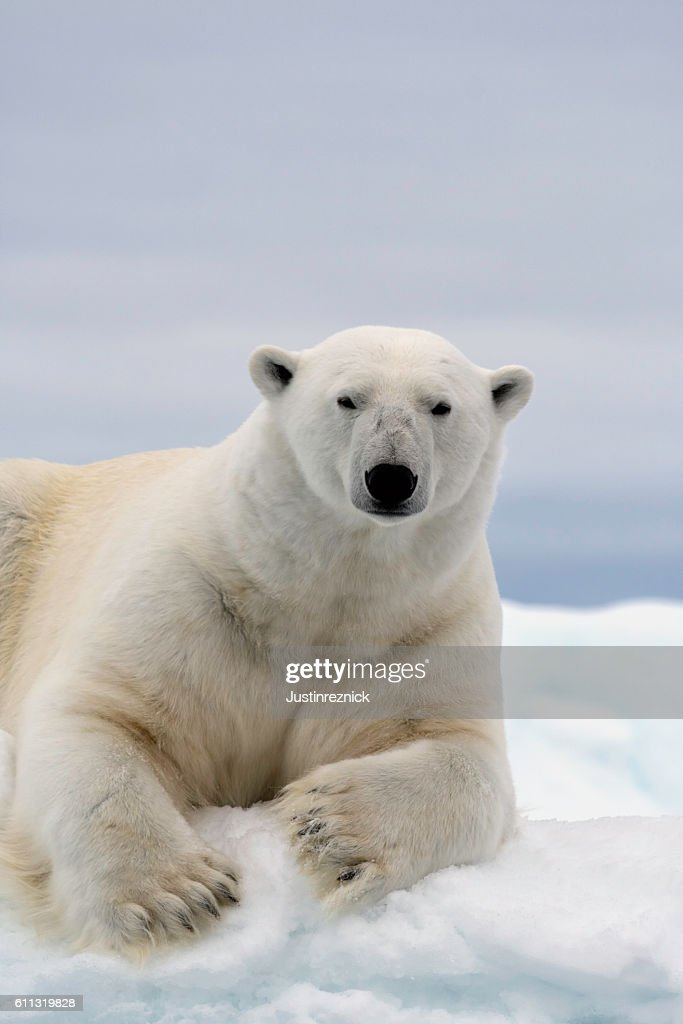 Polar Bear Portrait : Stock Photo