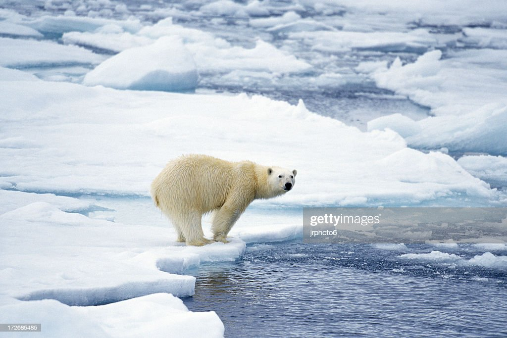 polar bear preparing to swim : Stock Photo