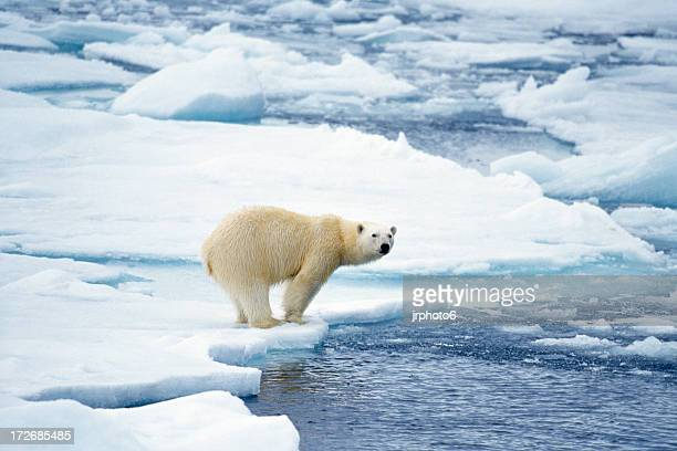 polar bear preparing to swim - ijsschots stockfoto's en -beelden