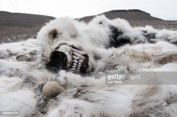 polar bear remains - famine stock pictures, royalty-free photos & images