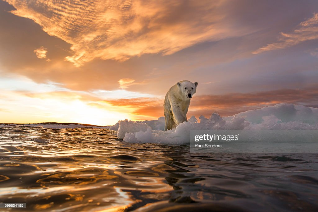Polar Bear, Repulse Bay, Nunavut, Canada : Stock Photo