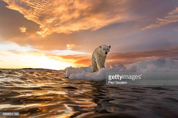 polar bear, repulse bay, nunavut, canada - climate change stock pictures, royalty-free photos & images