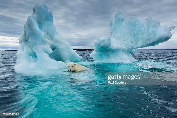 polar bear, repulse bay, nunavut, canada - arctic stock pictures, royalty-free photos & images