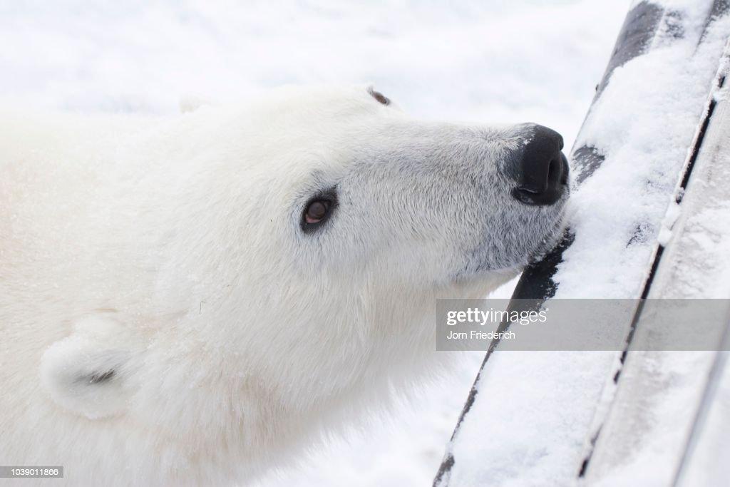 Polar Bear (Ursus maritimus) resting its head on a Tundra Buggy's bumper, Churchill, Manitoba, Canada : Stock Photo