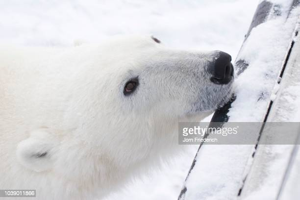 Polar Bear (Ursus maritimus) resting its head on a Tundra Buggy's bumper, Churchill, Manitoba, Canada