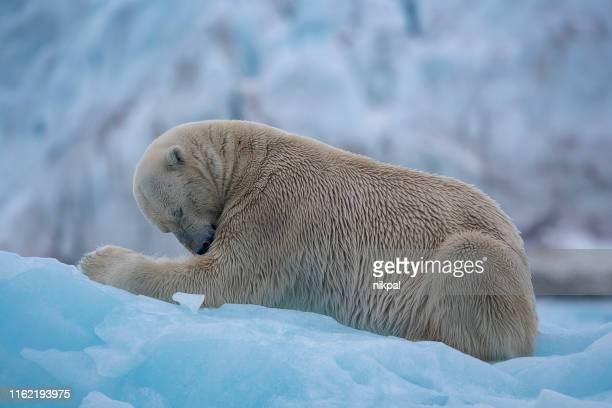 polar bear resting over a blue iceberg at svalbard islands - blue bear stock photos and pictures