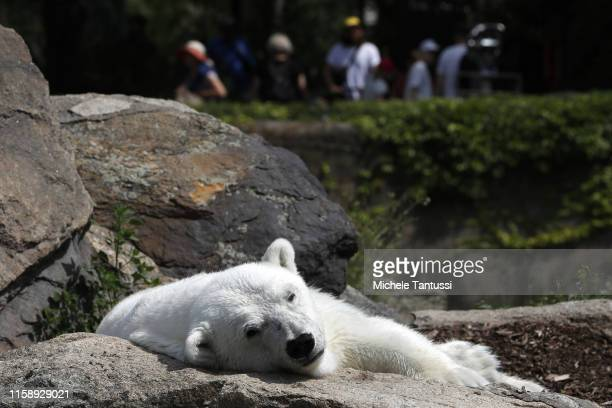 Polar Bear rests during the 175th anniversary at the Berlin Zoo on August 1, 2019 in Berlin, Germany. The Berlin Zoological Garden was founded in...